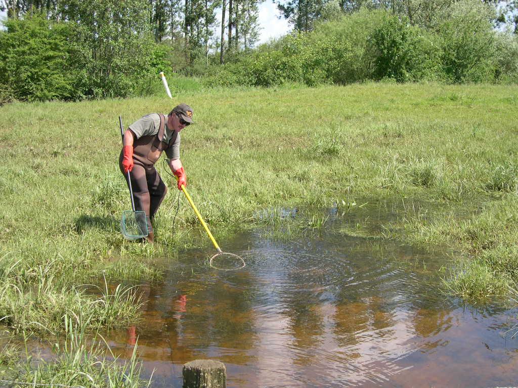 Pêche électrique dans une zone humide propice à la reproduction du Brochet