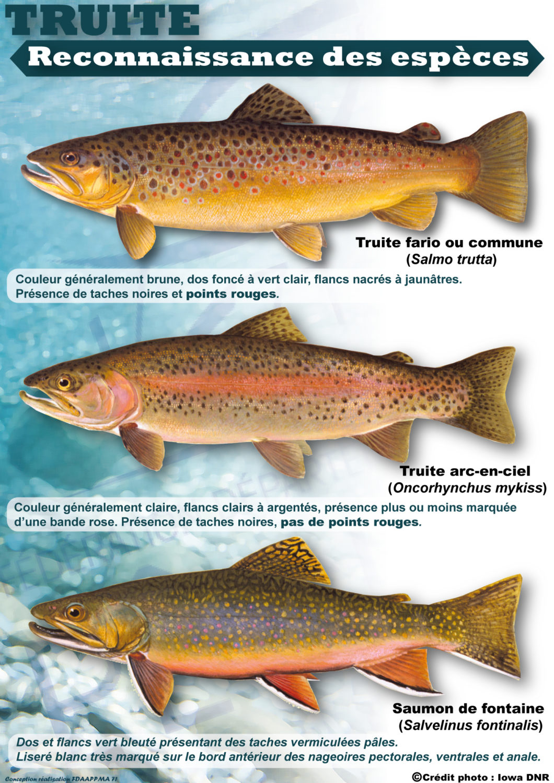 Apprendre à distinguer les salmonidés